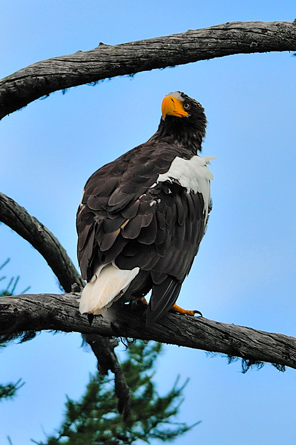 Steller Sea Eagle in Shantar Islands seen on Expedition to Shantar Islands Tour in Russia