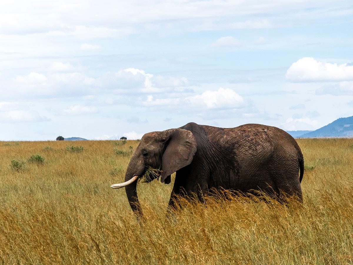 Grey elephant seen on safari during the Tanazia and Kenia Safari