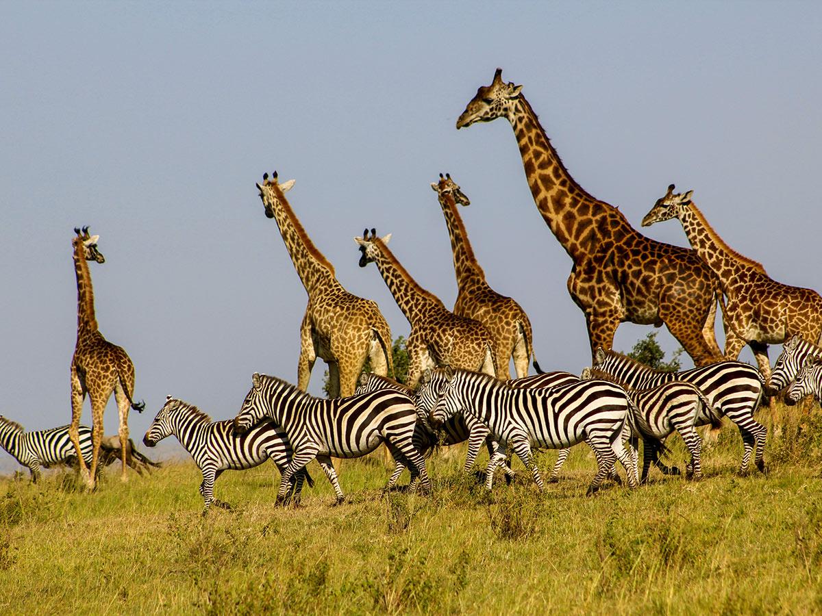 Tanzania and Kenya Safari Tour include big chances seeing zebras and giraffes j