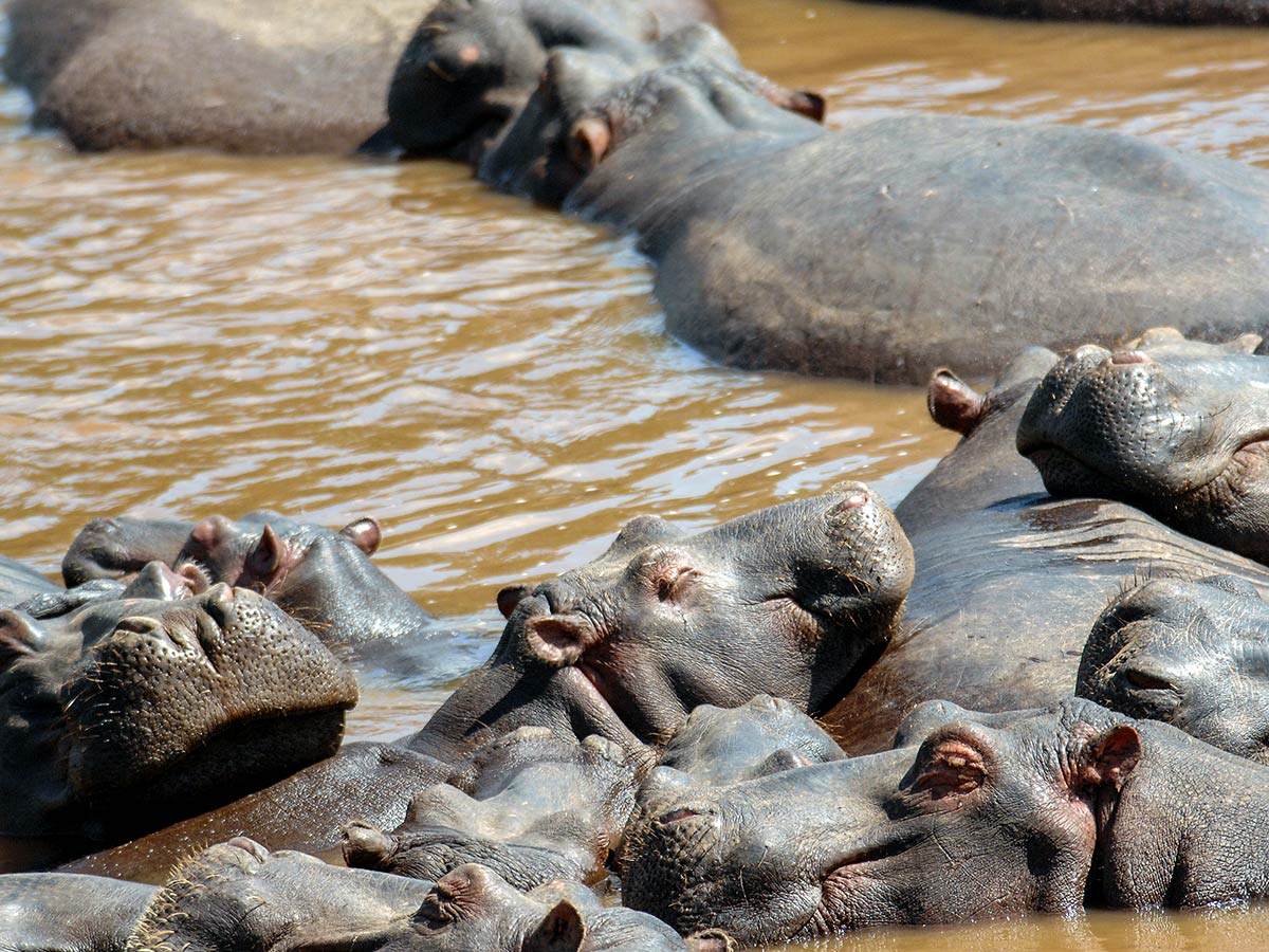Hippopotamuses bathing in a pond met on Safari in Kenya and Tanzania