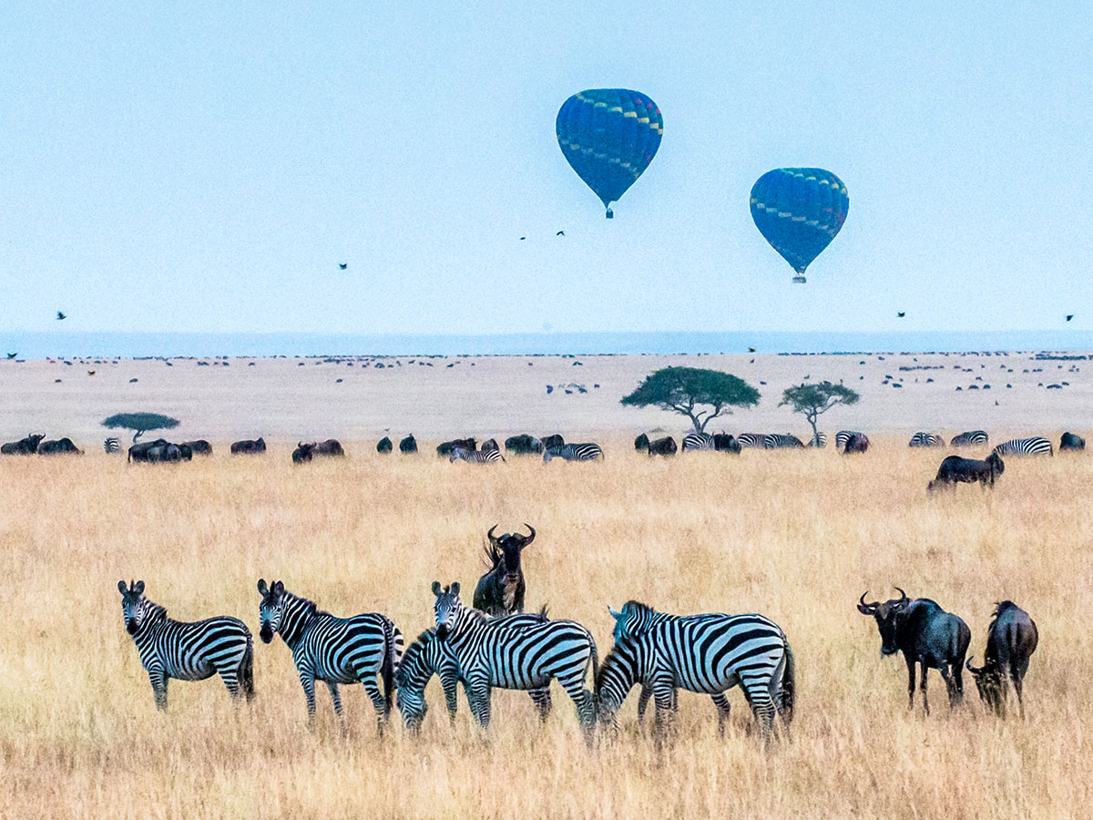 Group of zebras in Maasai Mara park on Tanazia and Kenia Safari Tour