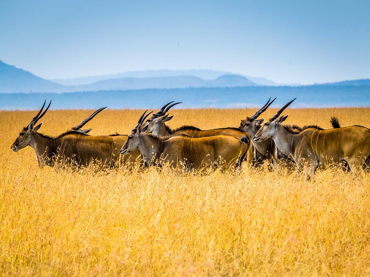 Antelopes in Maasai Mara Park on Tanazia and Kenia Safari