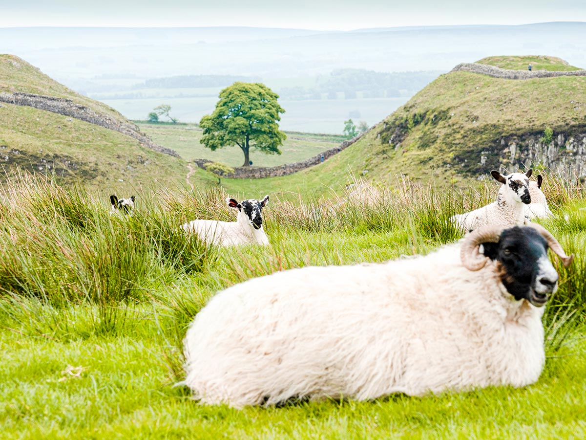 Texel sheep resting along the trail of Northumberland and the Lake District guided walking tour