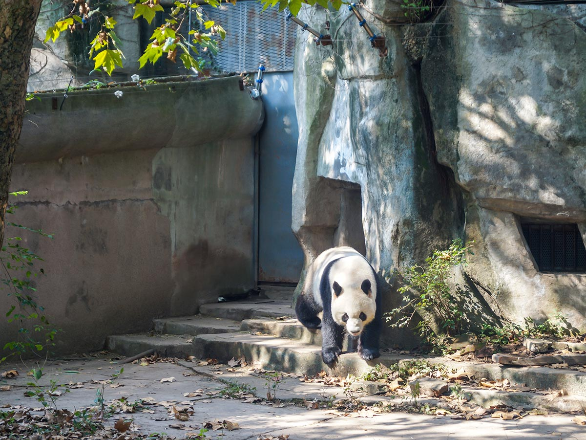 Visiting Pandas will make your day on China Tibet Encompassed Tour