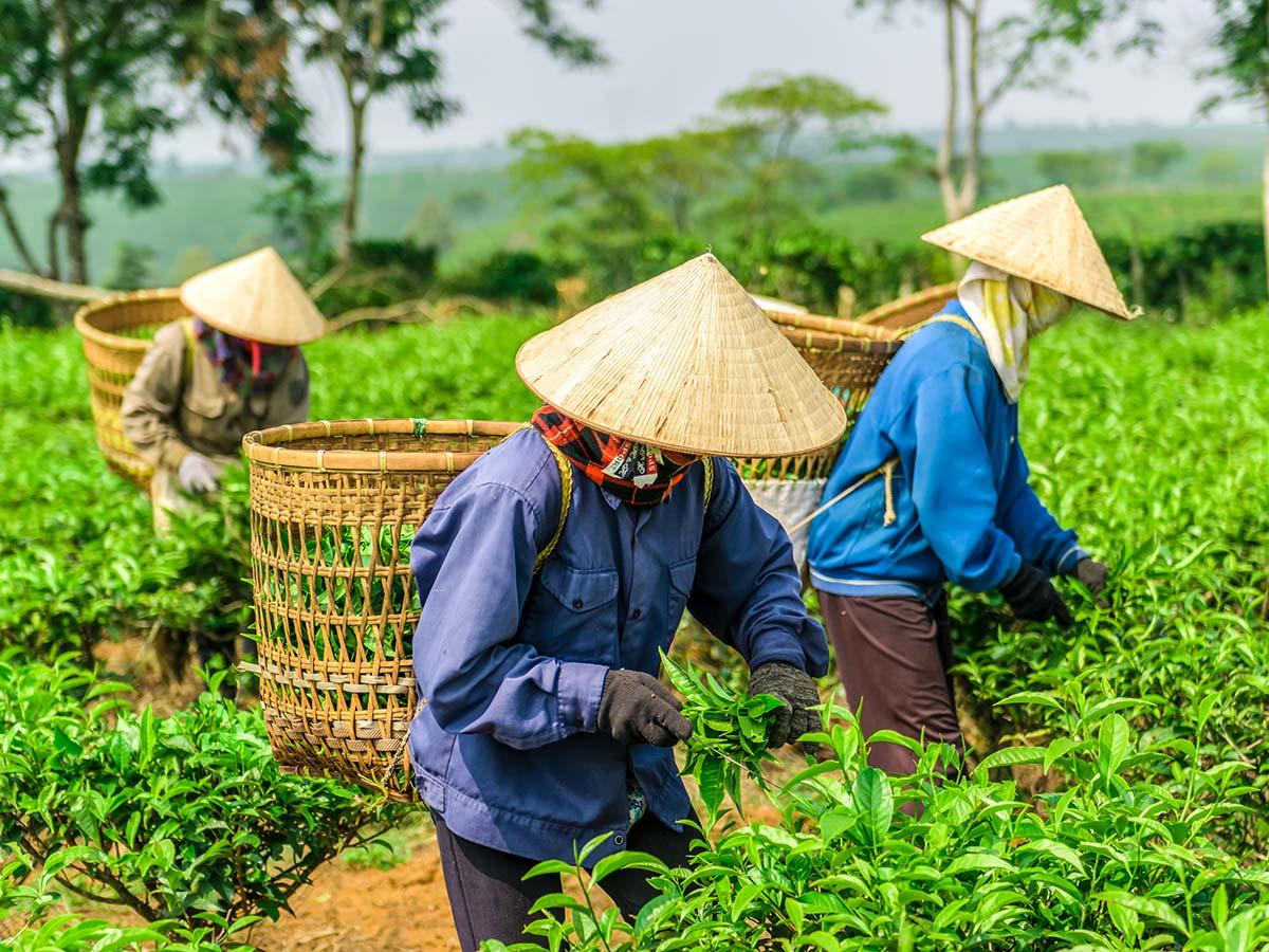 Tea farm seen on Northern Vietnam Mountain Biking Tour