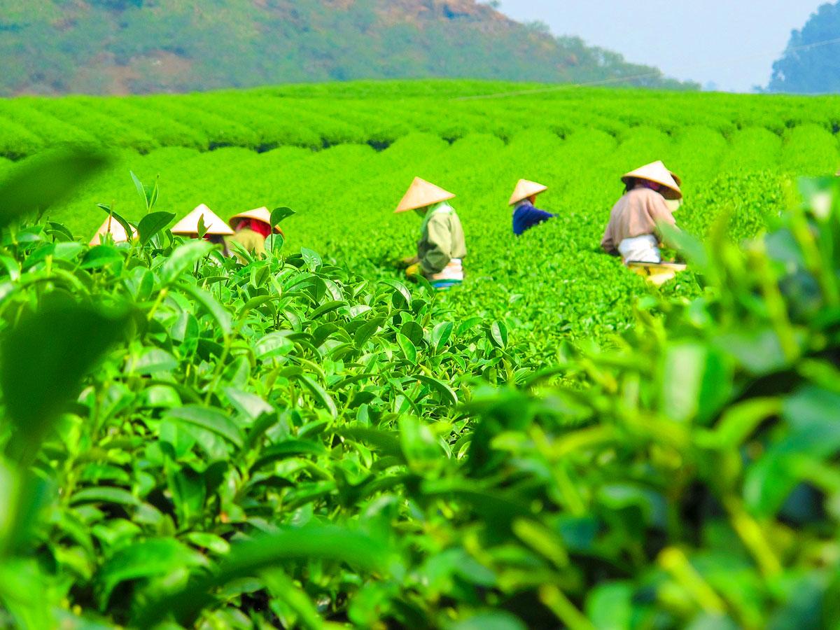 Tea fields on Vietnam Tropical Journey Tour in Vietnam