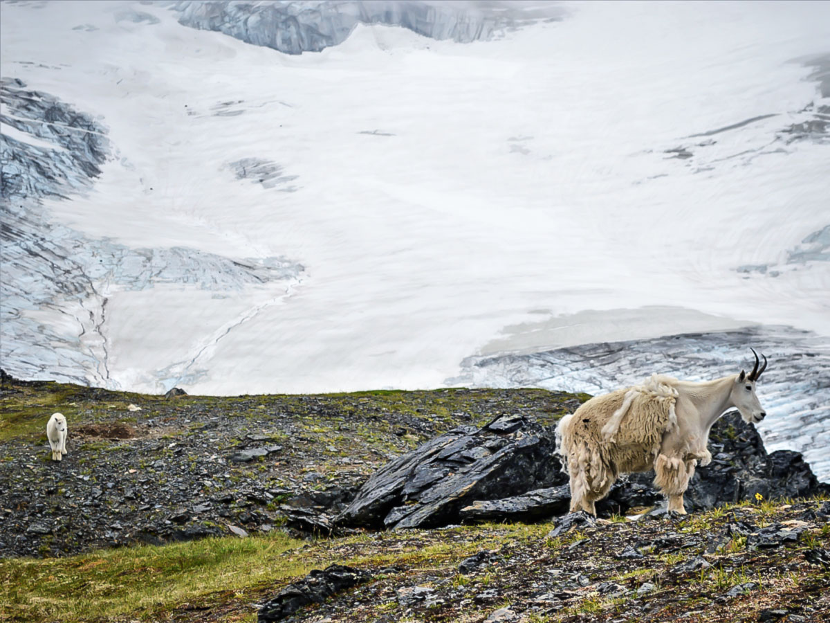 Mountain goats in front of the Harding Icefield in Alaska, seen on a guided hiking tour