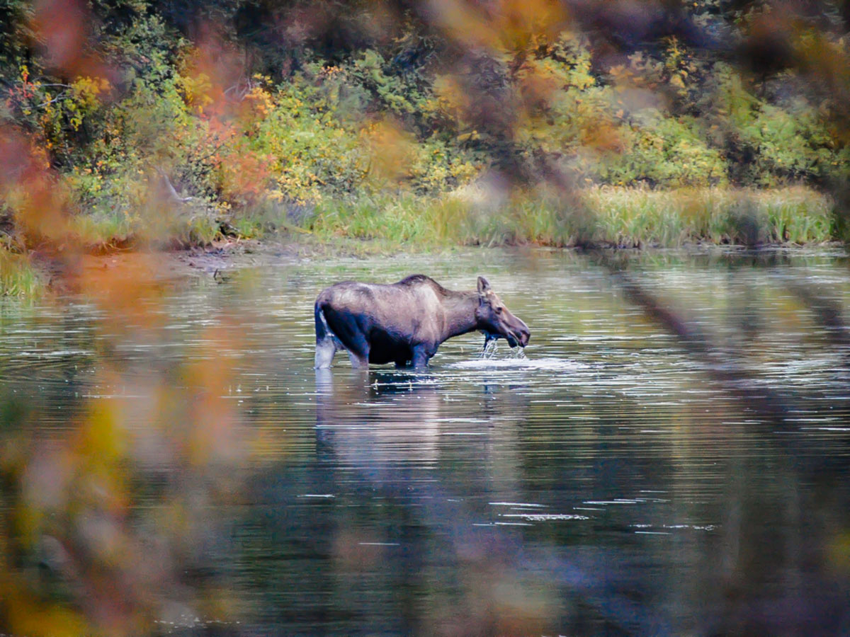 Moose met on a guided canoeing tour on the Big Salmon River in Yukon
