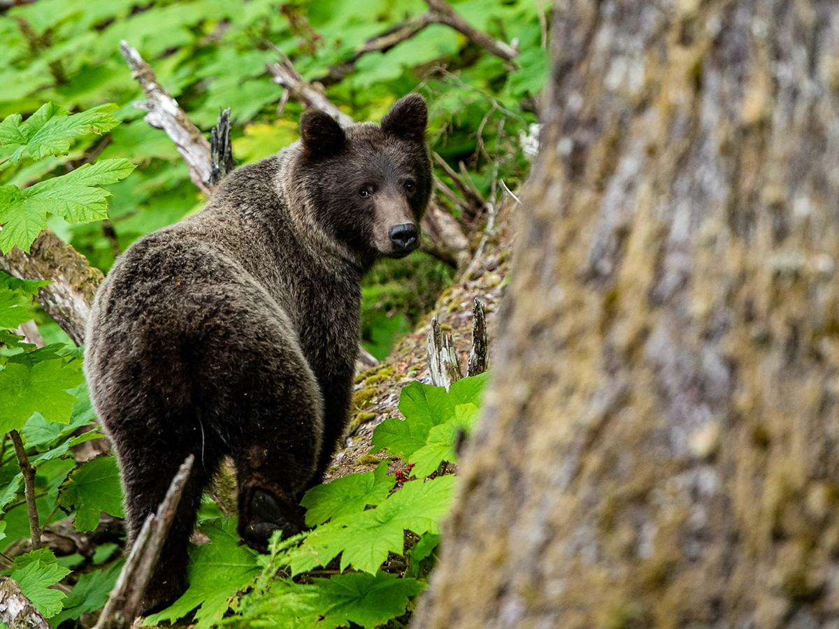 Black bear met on a Gold Rush Tour in Alaska and Yukon
