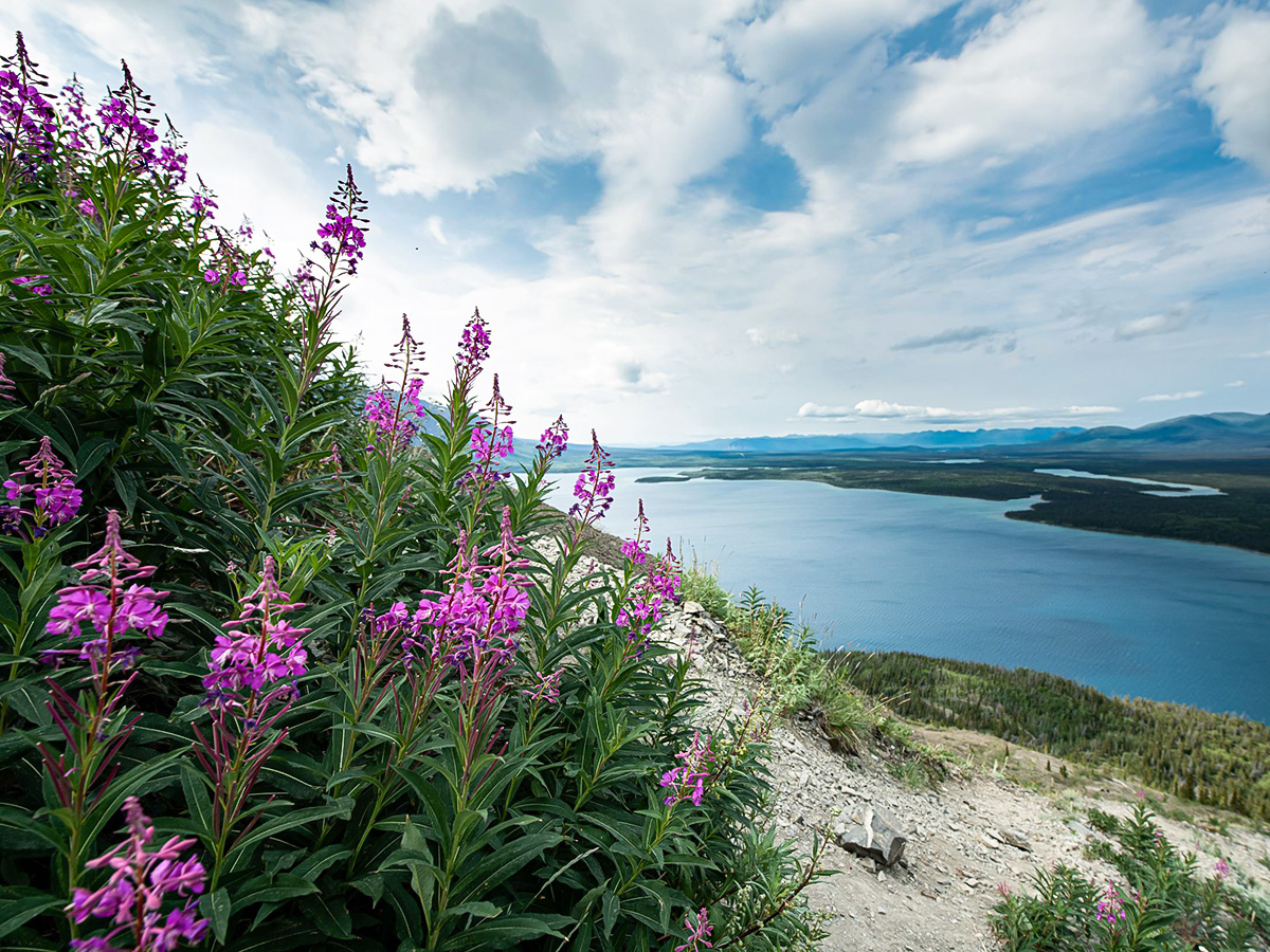Fireweed in Kluane National Park seen on a Gold Rush Tour