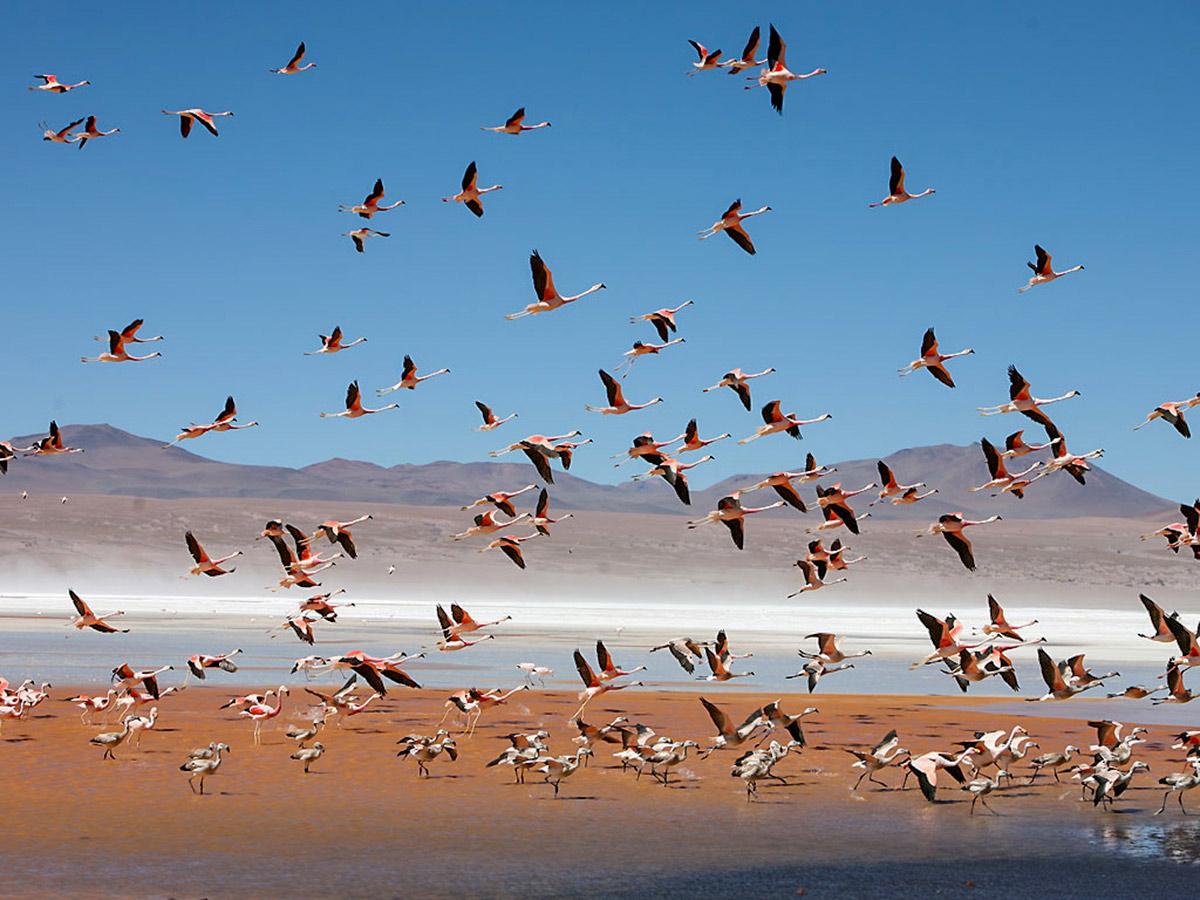 Flamingoes over Laguna Colorada in Bolivia