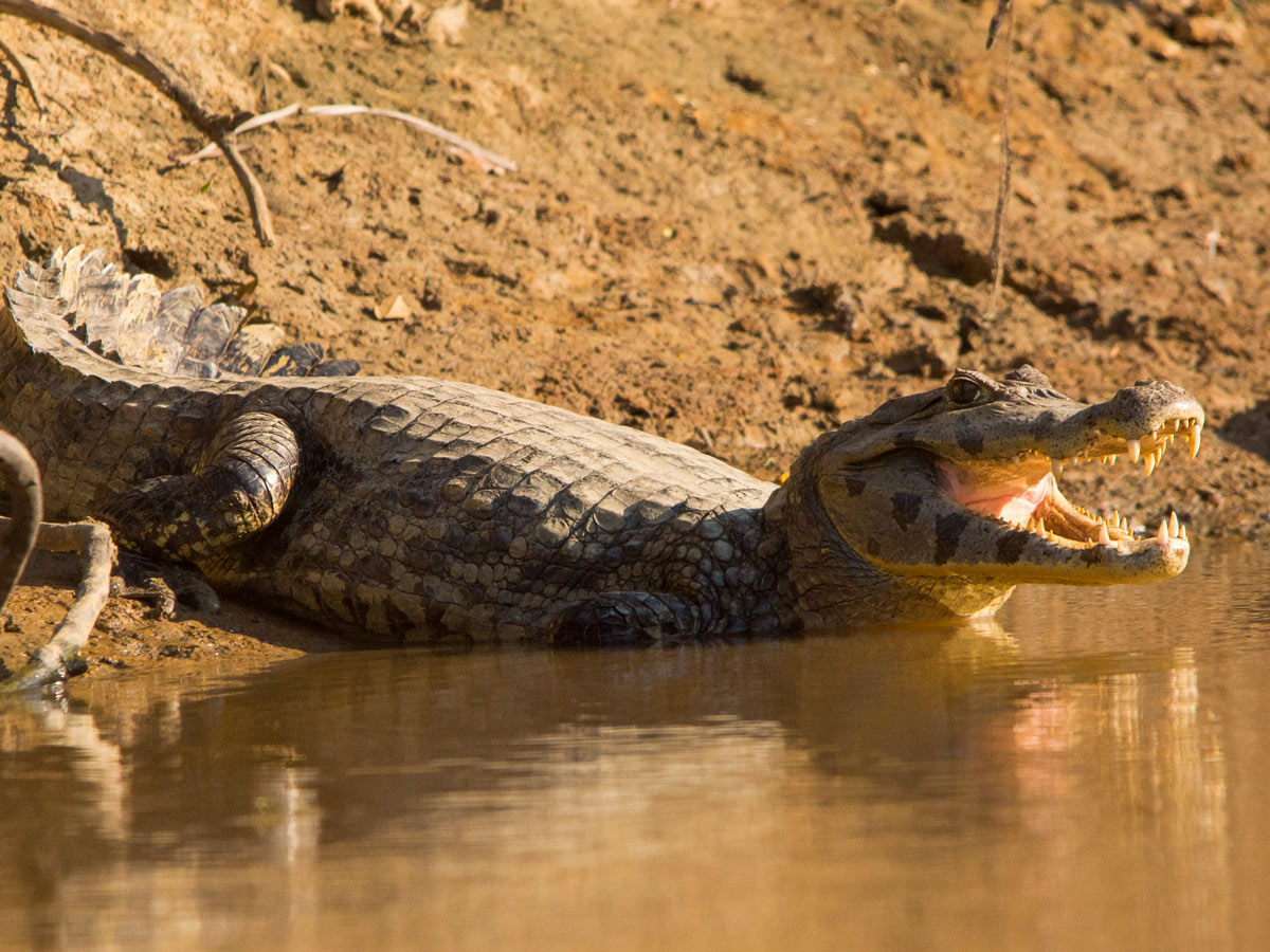 Caiman in Yacuma River seen on guided Amazonia Journey tour in Bolivia