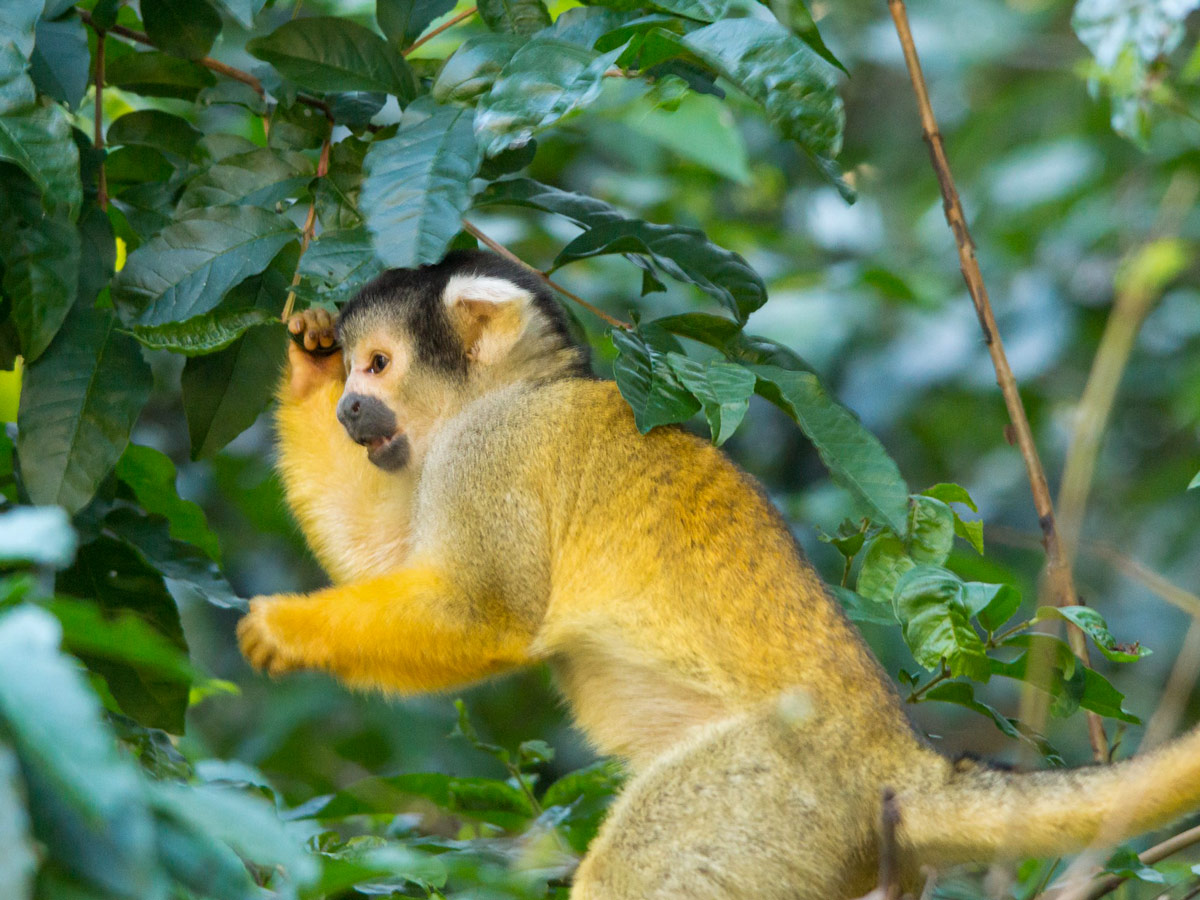 Guided Amazonia Journey tour in Bolivia is an amazing journey that introduces you to numerous animal species