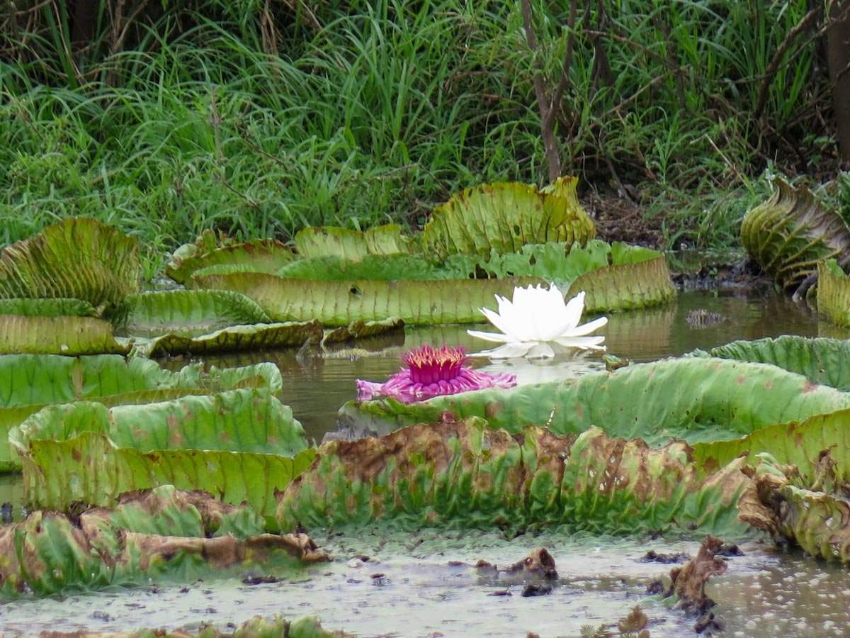 Giant water lillies in Amazonia region in Bolivia