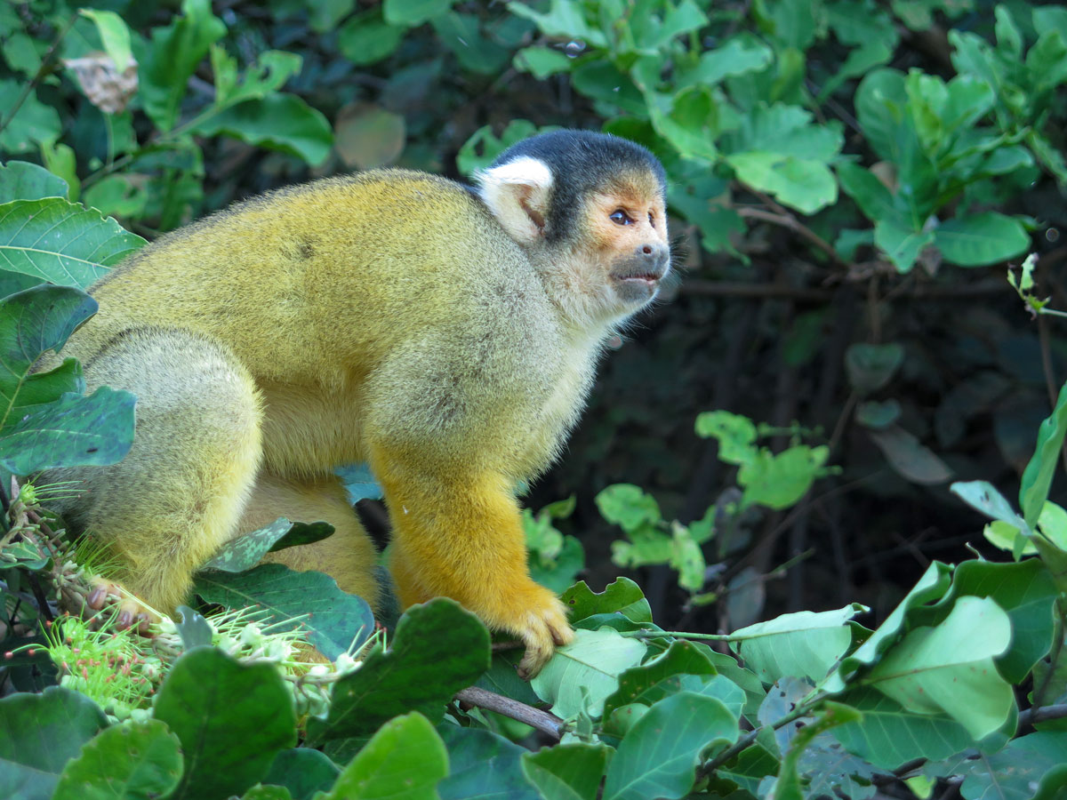 Monkey met along Yacuma river on Amazonia Journey tour in Bolivia