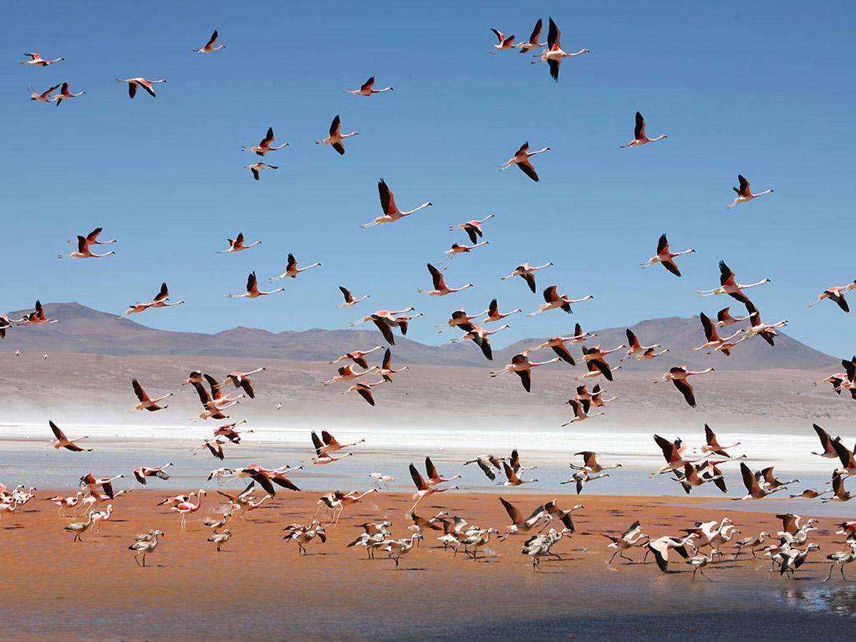 Flamingos at Laguna Colorada Bolivia Adventure Tour with a guide