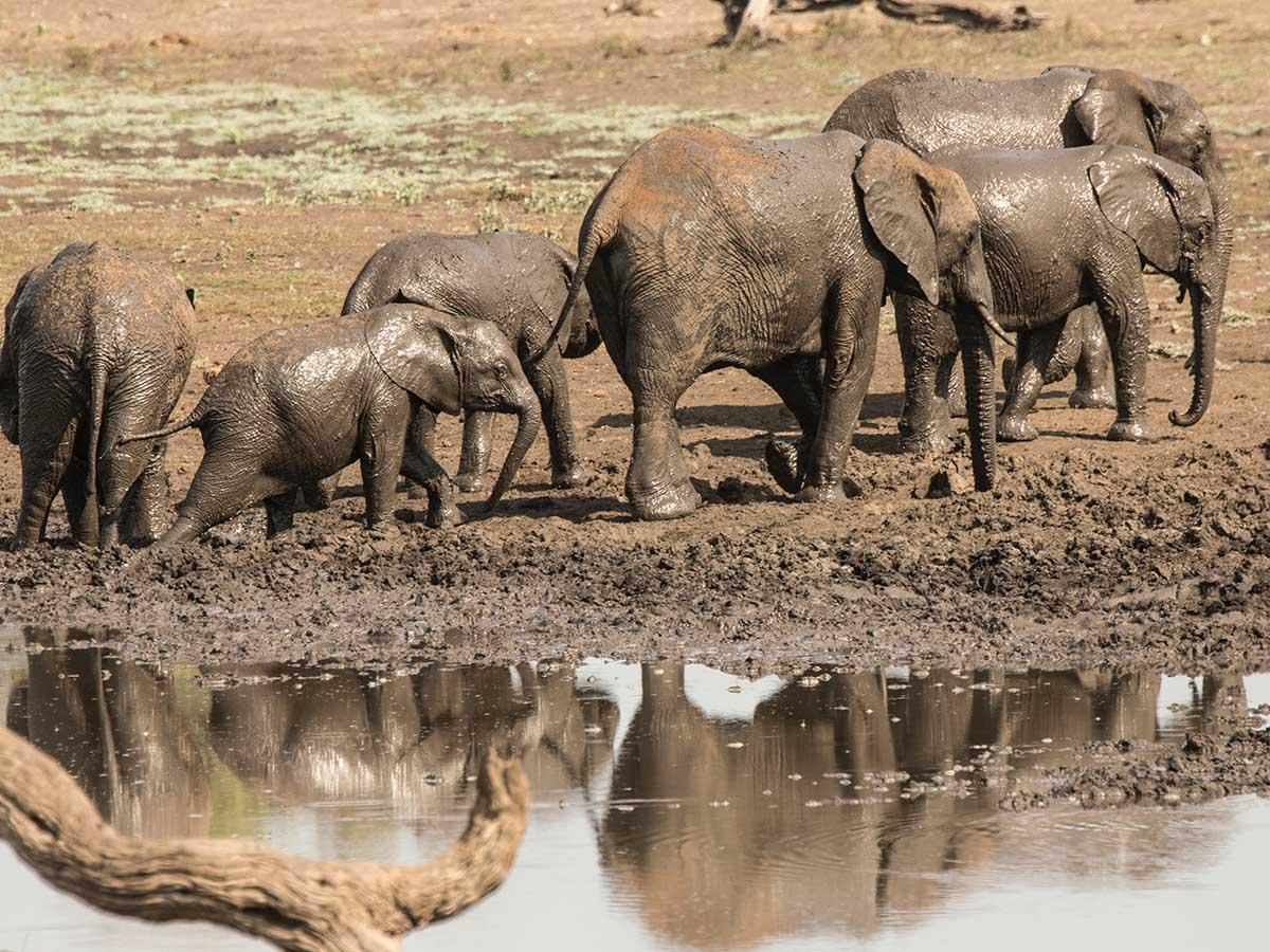 Group of Elephants met at Safari in Kruger National Park South Africa