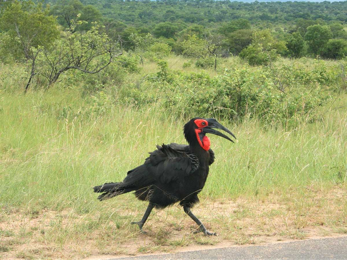 Southern Ground Hornbill met in South Africa Kruger National Park
