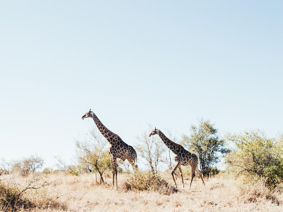 Girrafes in Kruger National Park South Africa