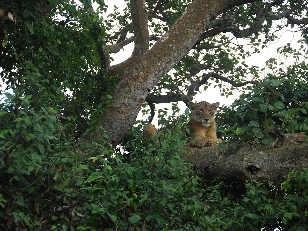 Tree Climbing Lion Ishasha Sector