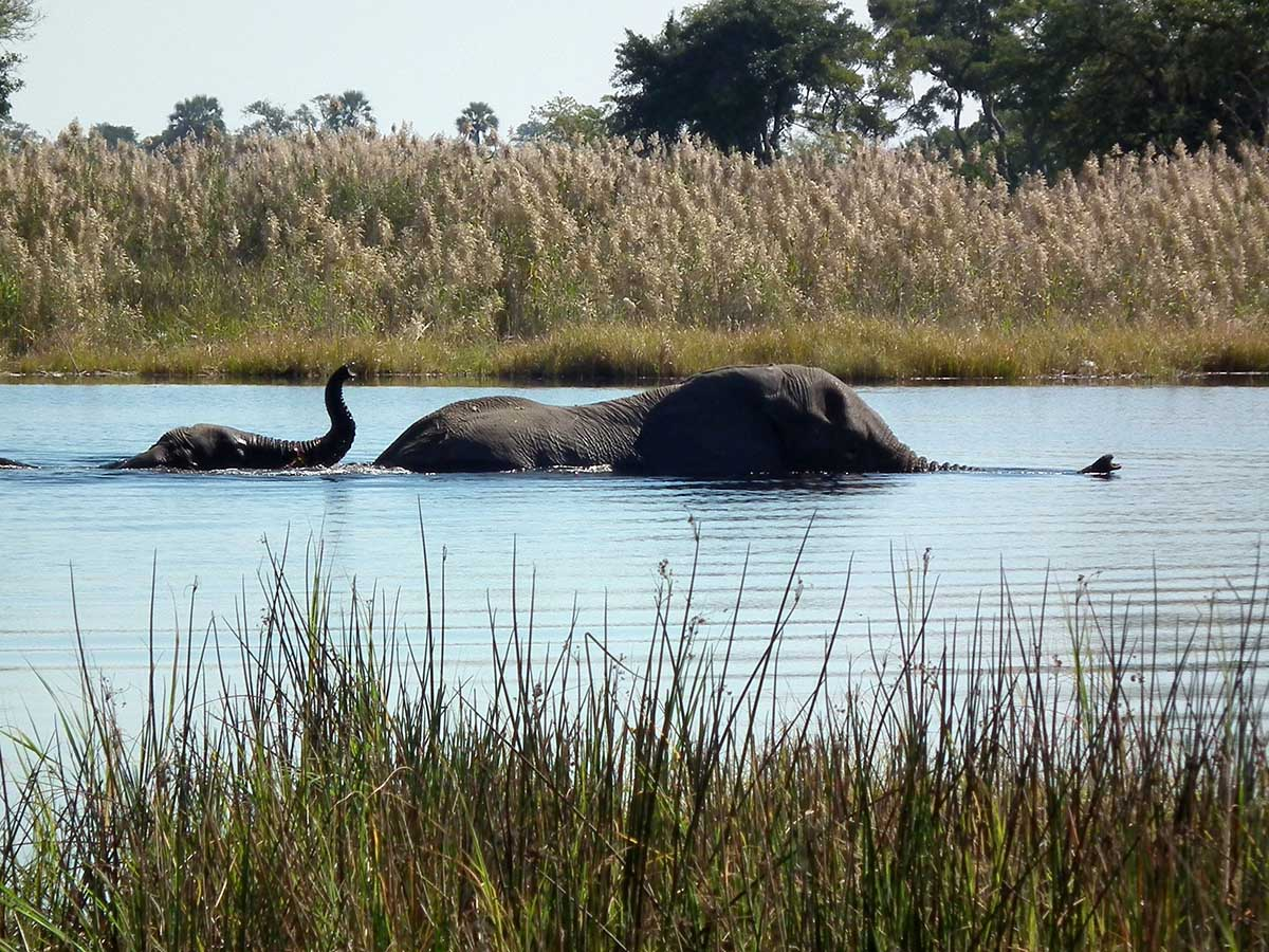 Two elephants in the river