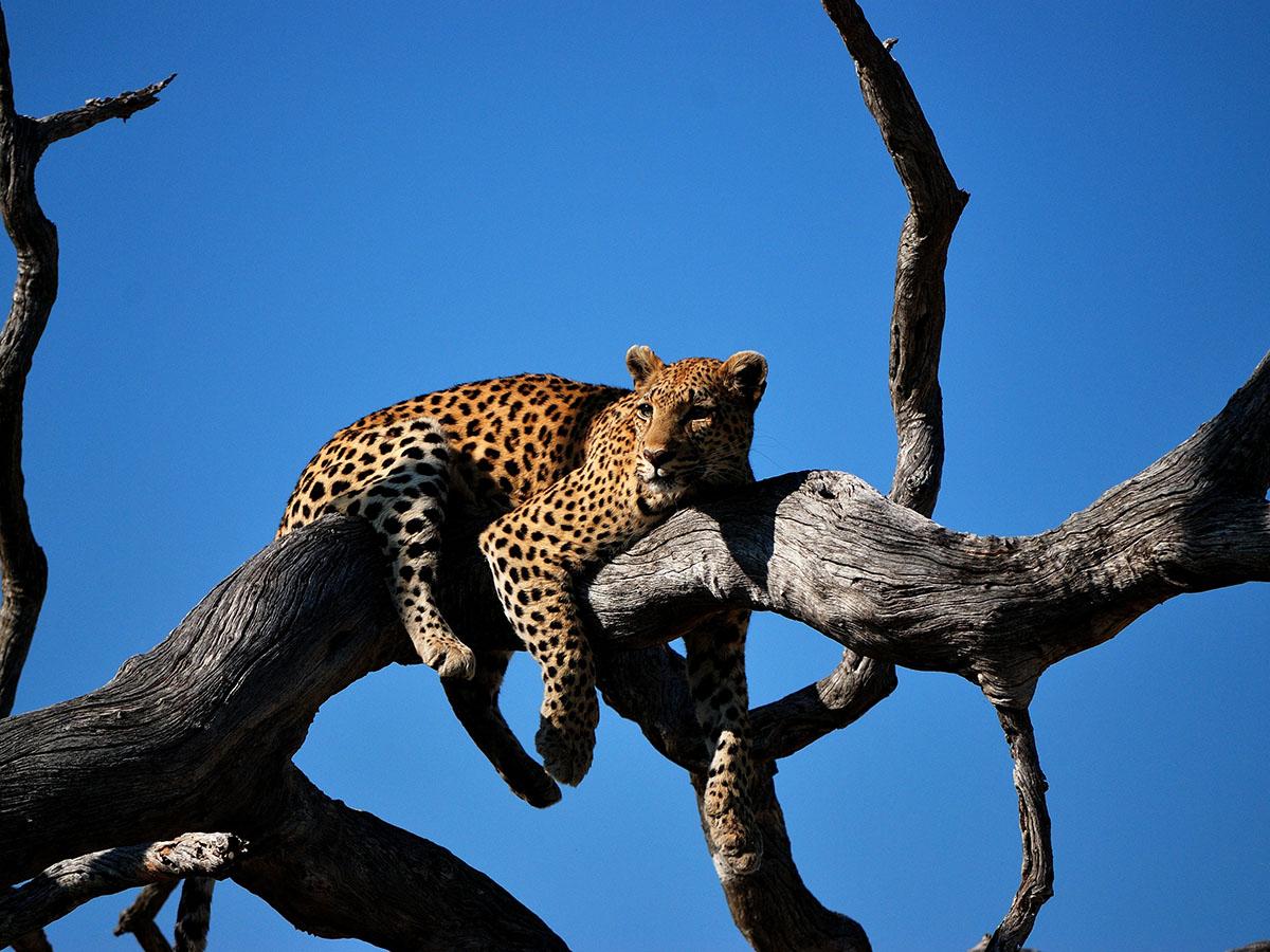 Leopard resting on tree branch