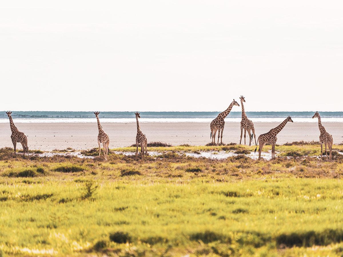 Group of giraffes met on Botswana, Zimbabwe and Namibia Adventure Tour