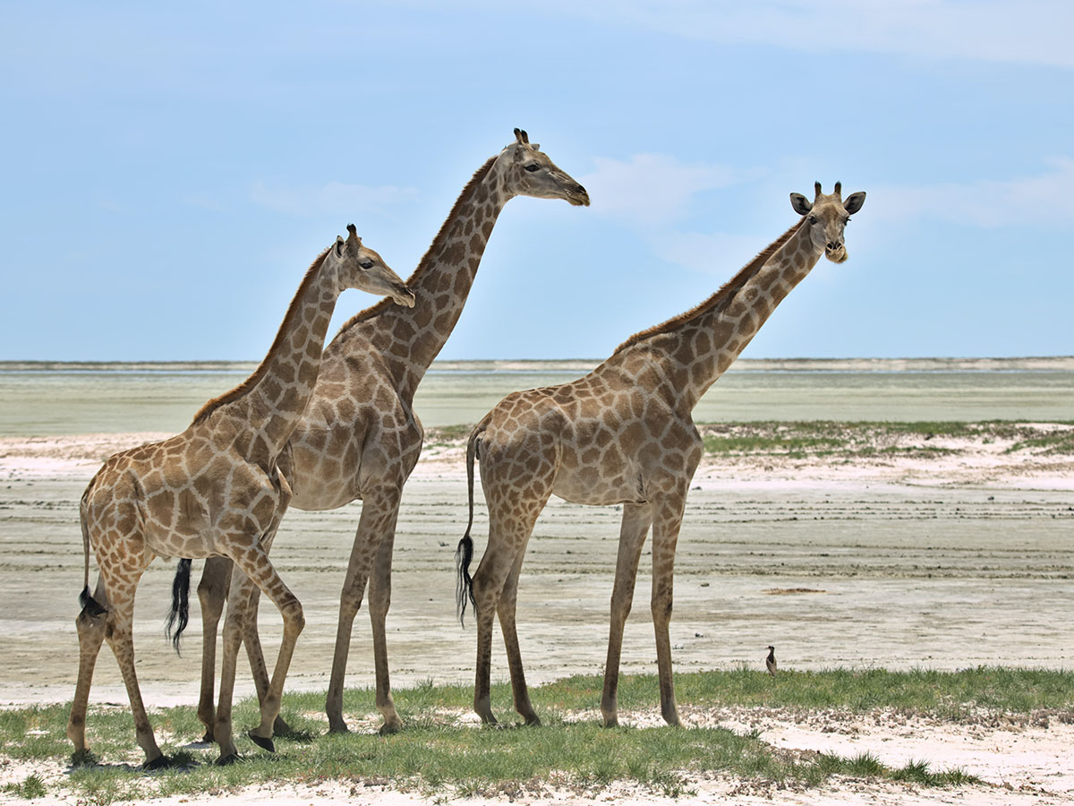 Three giraffes met on an adventure tour in Southern Africa