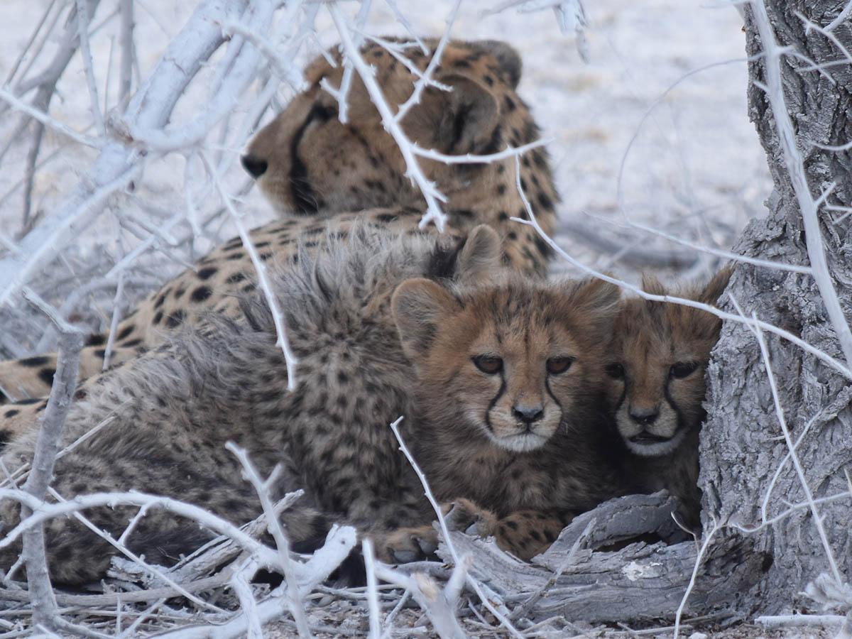 Cheetahs met on an adventure tour in Botswana, Zimbabwe and Namibia