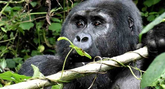 Gorilla Trekking in Bwindi National Park Tour