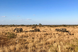 Safari in Kruger National Park include a big chance to spot elephants