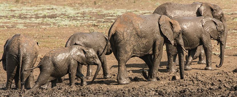 A Group of elephants met at Safari in Kruger National Park