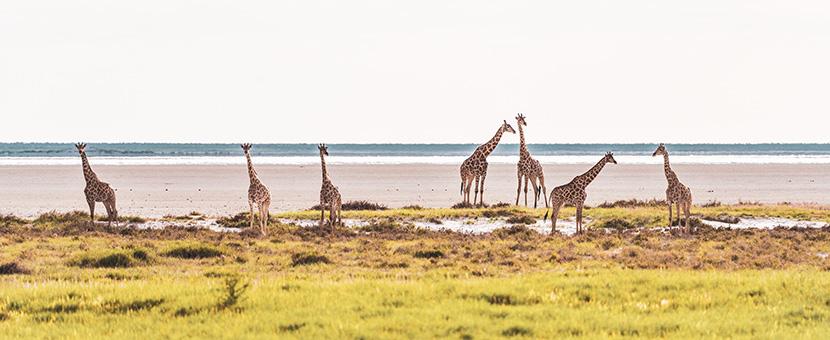Panoramic view of giraffes in Botswana, Zimbabwe & Namibia Adventure Tour