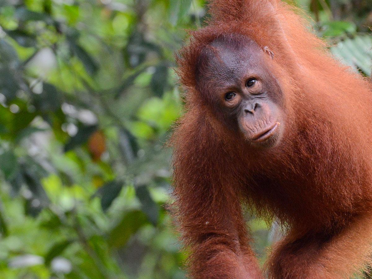 Orangutan spotted along Malaysia rainforest bike tour