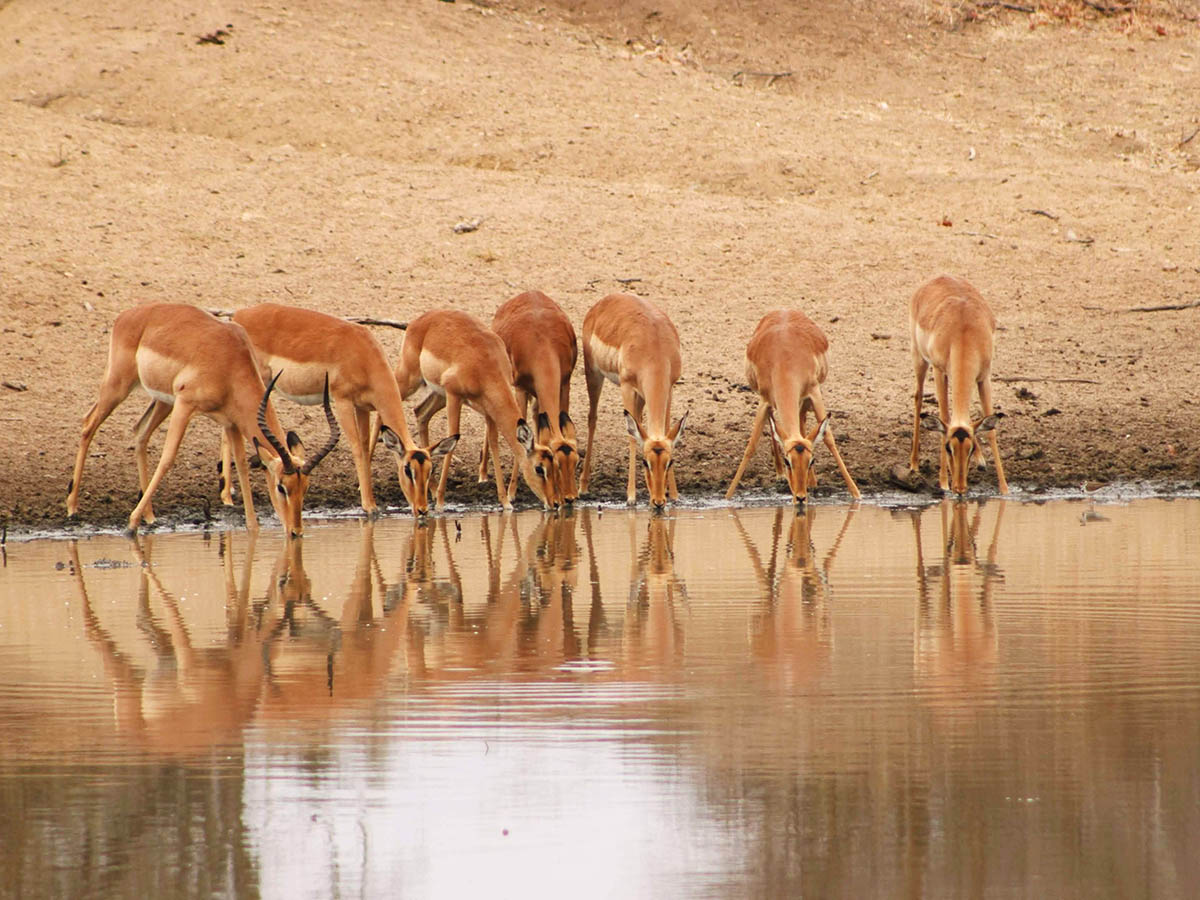 Safari in Kruger National Park is a very rewarding experience that lets you see numerous wild animals, including antelopes