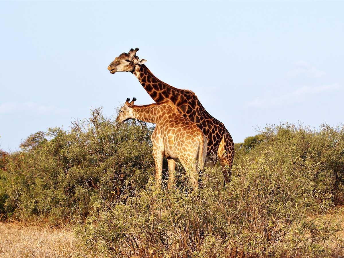 Girrafe met at Kruger National Park