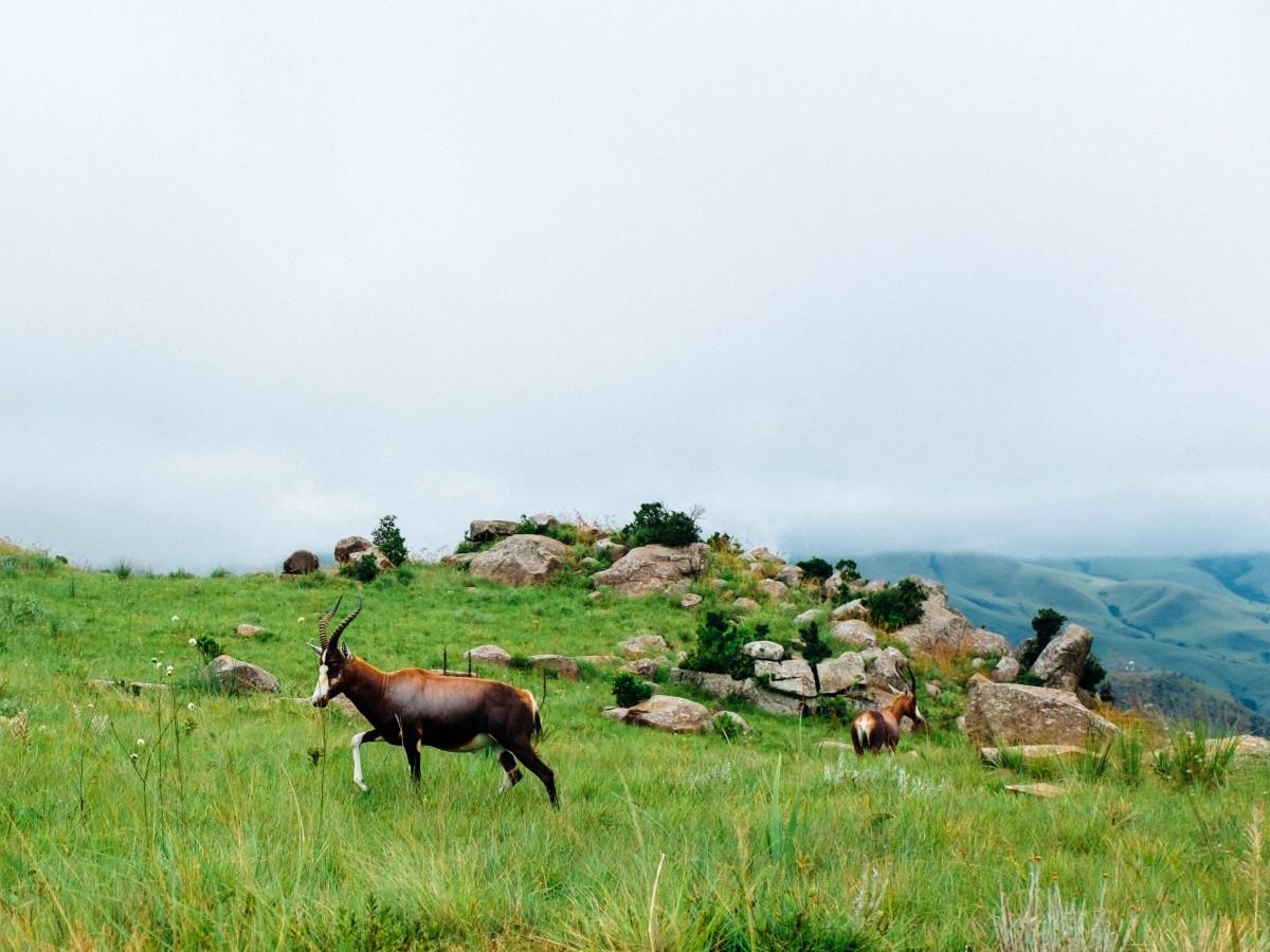 Lone antelope met in South Africa