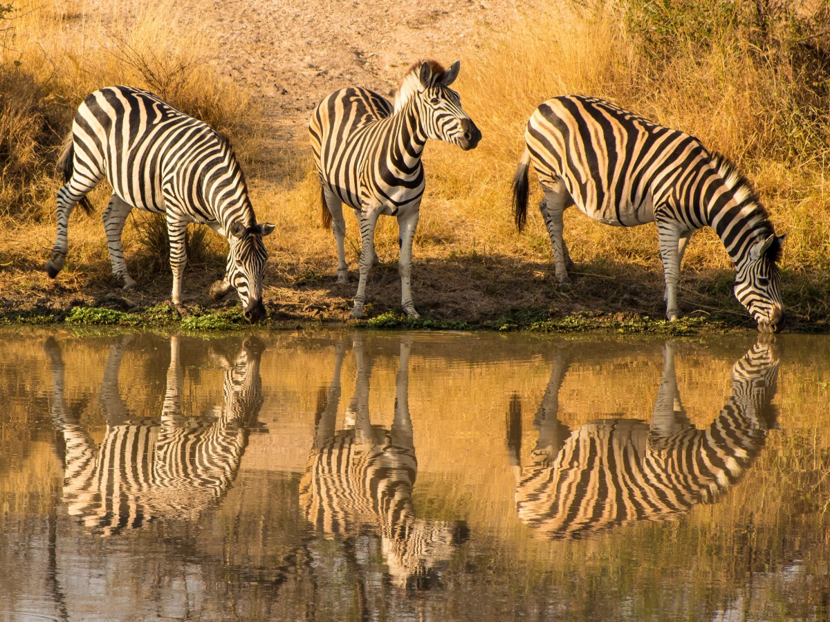 Zebras in Kruger National Park visited on guided hiking tour in South Africa