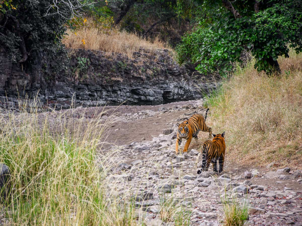 Pair of bengal tigers spotted on temples and tigers wildlife cultural tour in India