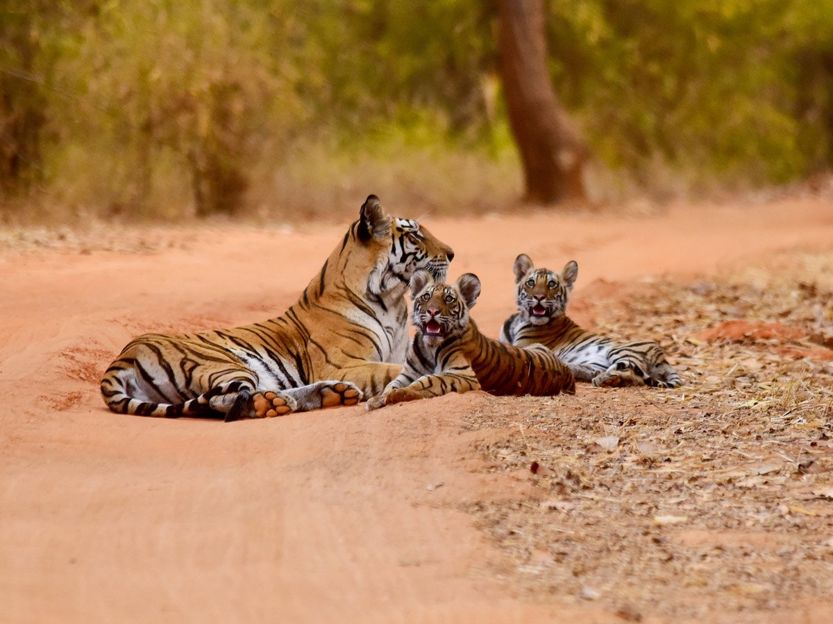 Bengal tiger mother and cubs spotted on temples and tigers wildlife cultural tour in India