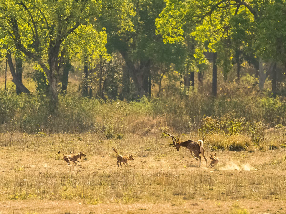 Deer chases off wild dogs in amazing photo wildlife on adventure tour India