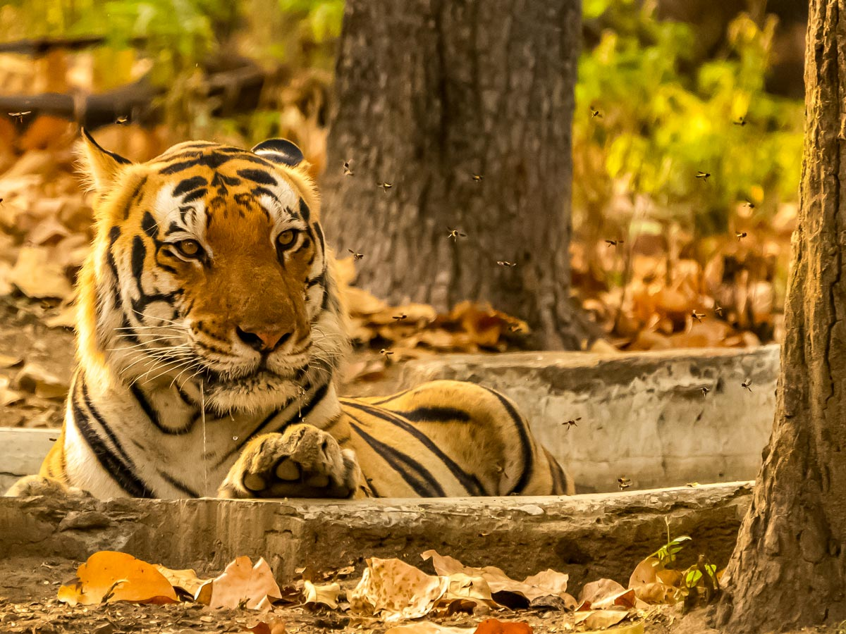 Beautiful Bengal tiger watches yellow jackets fly on snow leapard tiger adventure tour India