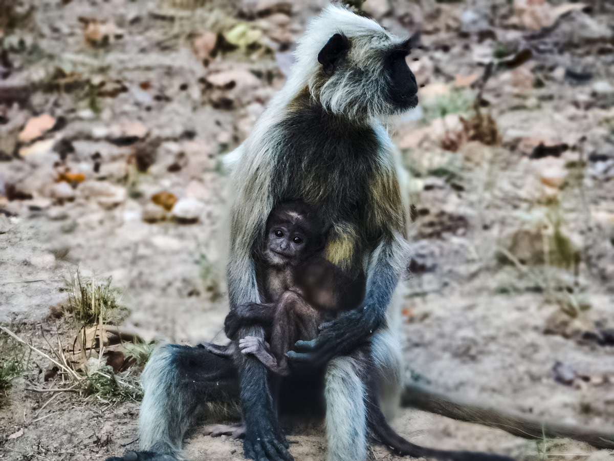 Mother cuddles baby monkey seen touring wildlife in India