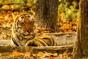 Snow Leopard and Tiger Trekking Safari