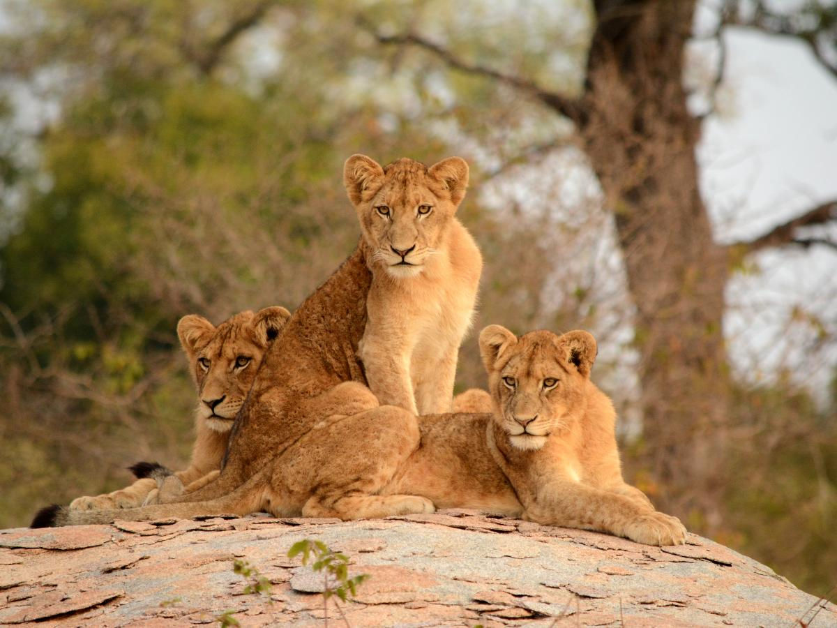 Three Lions in Southern Kruger South Africa