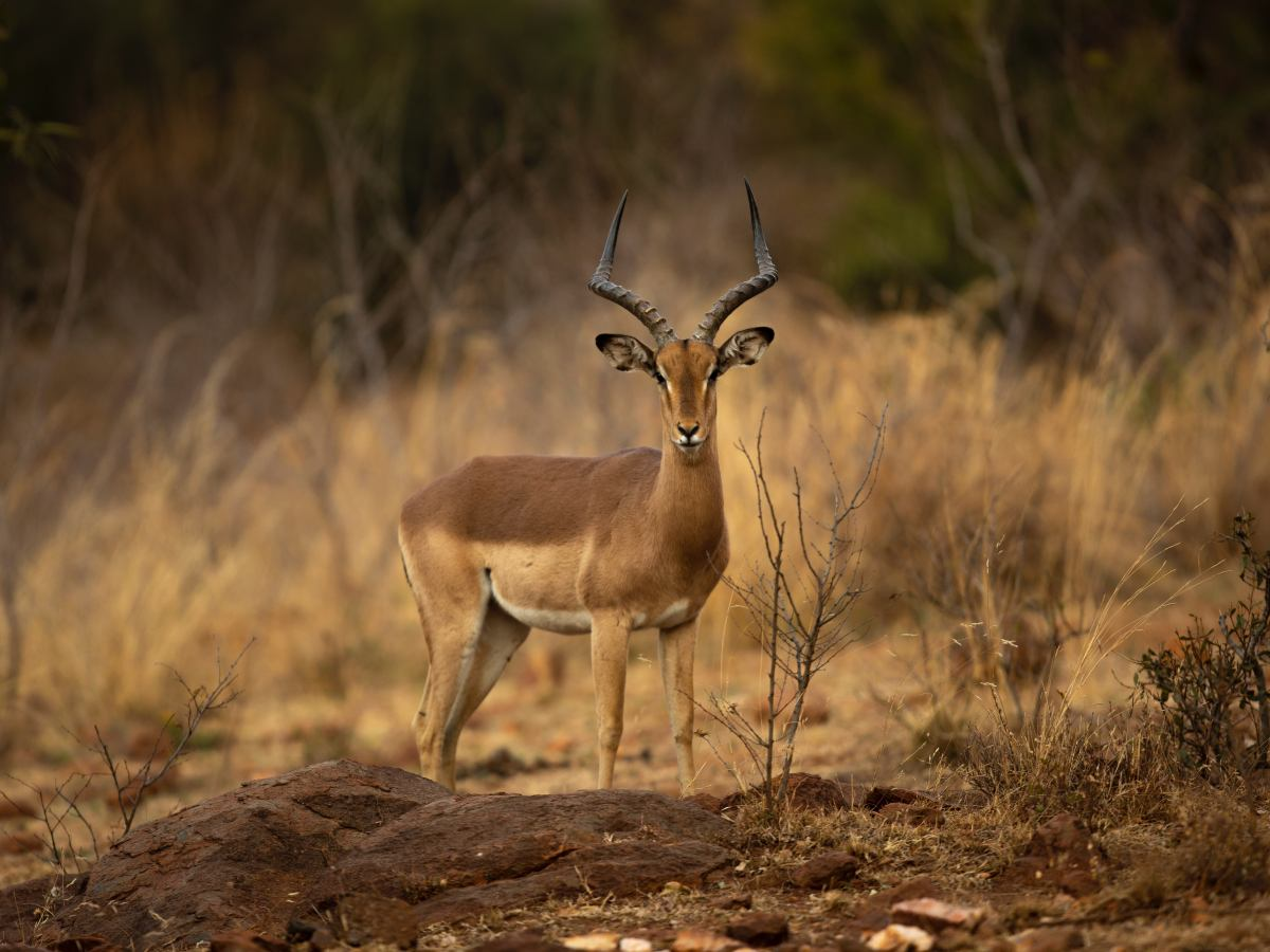 Lone Antelope met in Kruger NP South Africa