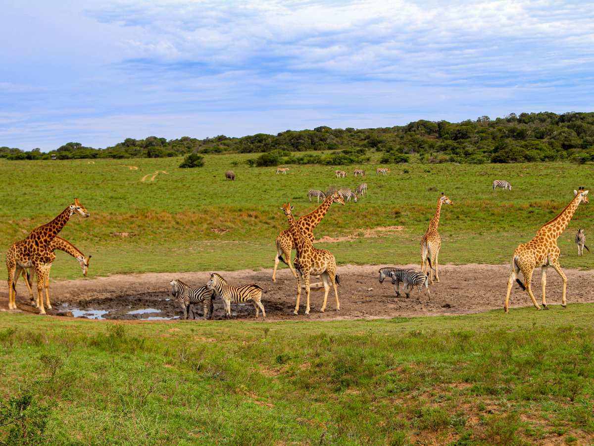 Group of zebras and giraffes roaming in Kruger National Park South Africa