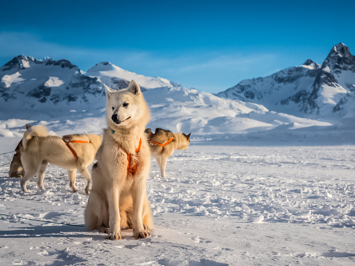 White husky sled dogs rest in the snow dogsledding tour Greenland