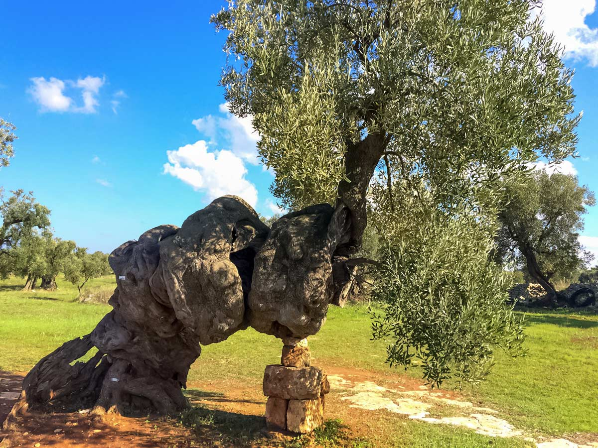 Olive trees Puglia Italy adventure tour in beautiful Italian country