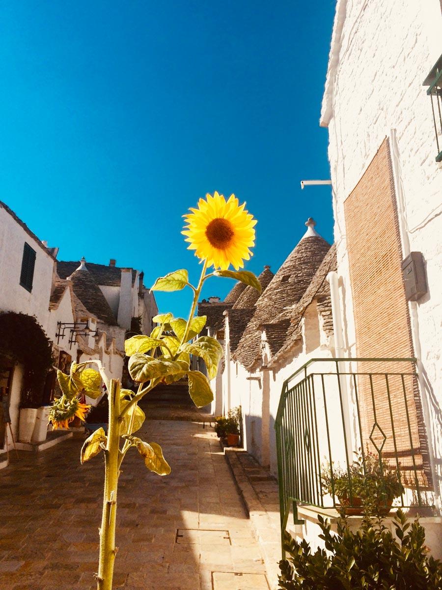 Alberobello Italy sunflower and hillside road